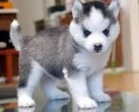 Quality S.i.b.e.r.i.a.n h.u.s.k.y Puppies:./**
