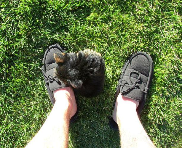 ##  Quality Teacup Yorkies Puppies:....**