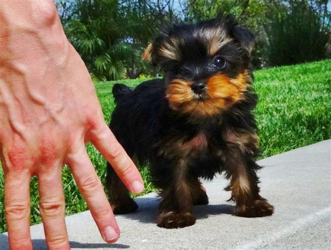 ##  Quality Teacup Yorkies Puppies:....**