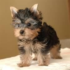 -- Teacup Yorkie Puppies Available contact at (260) 407-4775)