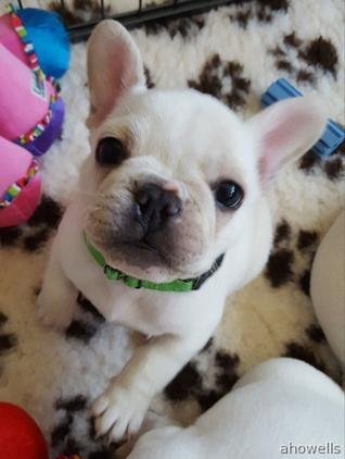 Cream French bulldog puppies(boys) for sale