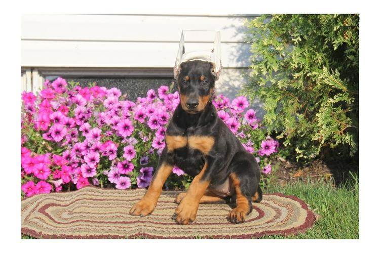 Doberman pups available.text.(410. 934..-5025)