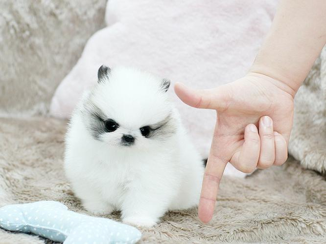 Sweet .Mini P.o.m.e.r.a.n.i.a.n puppies!!!sms  210-504-7238