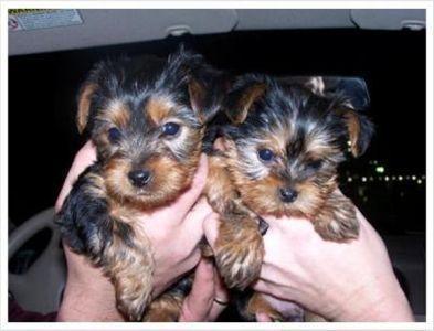 SWEET Y.O.R.K.I.E Puppies:??? (443) 529-0531
