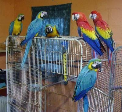 Tamed Hyacinth, Blue & Gold, Scarlet macaws for adoption