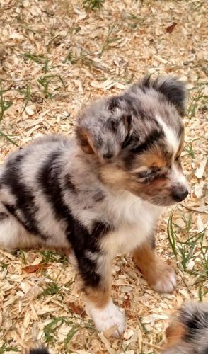 CUTIE A.U.S.T.R.A.L.I.A.N S.H.E.P.H.E.R.D Puppies: contact us at (347) 696-0307