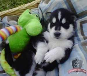 Quality siberians huskys Puppies: contact us at (302) 585-3148