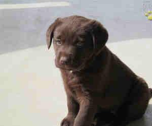 Kosmo- A Bouncy Friendly Little Standard Labrador Puppy For Sale