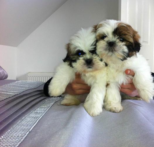 Shih tzu Puppies Available. Contact us at  (678) 734-8914