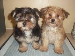 #  Awesome Female and Male M.o.r.k.i.e puppies# (678) 734-8035