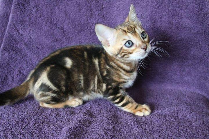 Bengal Kittens Available. Contact us at (407) 476-6070