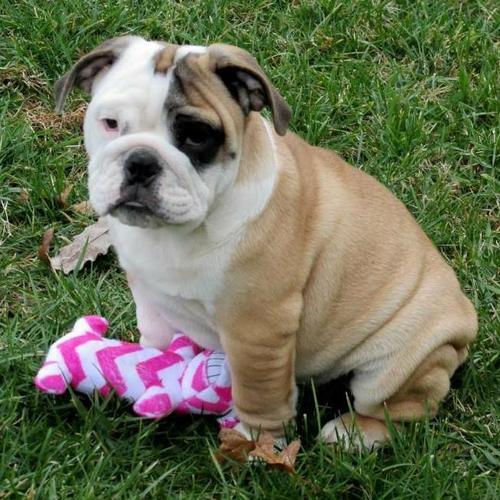Quality English Bulldoggss Puppies