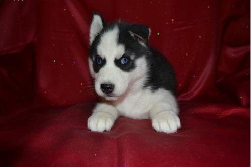 CUTIE S.I.B.E.R.I.A.N H.U.S.K.Y Puppies: contact us at (615) 669x  x 5532