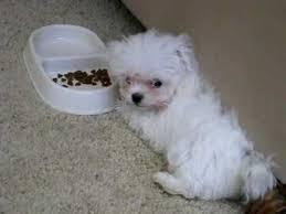 ??? FREE Top Quality Malteses Puppies:....contact us at(470) 253-0015