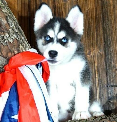 Charming Husky for Adoption
