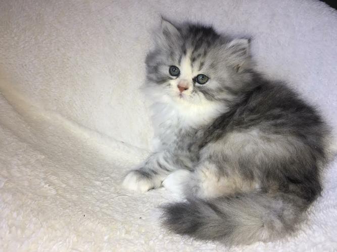 PennySaver | Teacup Persian Kittens in Orange, California, USA
