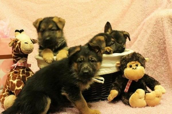 BEAUTIFUL GERMAN SHEPHERED Puppies: contact us at(704) 885-6373