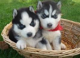 CUTE S.i.b.e.r.i.a.n H.u.s.k.y Puppies: