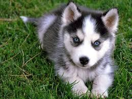 CUTE S.i.b.e.r.i.a.n H.u.s.k.y Puppies: