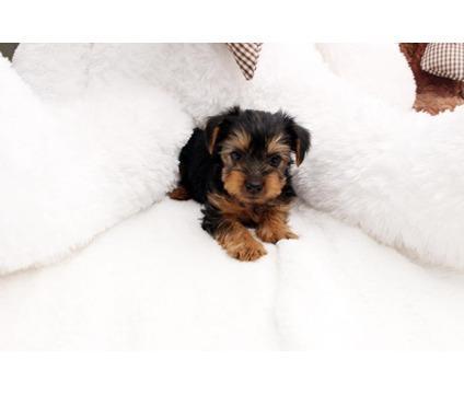 bcfghfhfthtfr CUTE T.E.A.C.U.P Y.O.R.K.I.E puppies sms 240-542-70l0