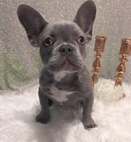 Adorable outstanding French Bulldog puppies