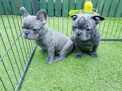 Meet 'Jules' a gorgeous BLUE frenchie female beauty!