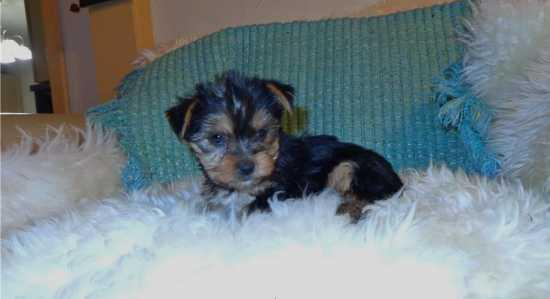 Quality Teacup Yorkies Puppies:.... (719) 417-8519