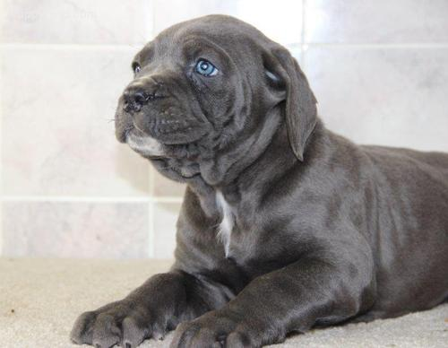 ^^%Duke males and females Cane Corso Puppies ^^