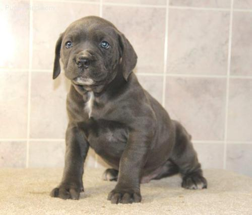 ***MAle and Female Cane Corso Puppies&&&