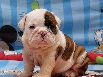 Free Lovely Akc Registered E.n.g.l.i.s.h B.u.l.l.d.o.g.s Puppies(302) 400-4353