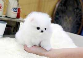 Quality Pome.ranian Puppies Available??contact us at (701) 660-2044 q