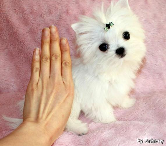 CUTE P.O.M.E.R.A.N.I.A.N Puppies