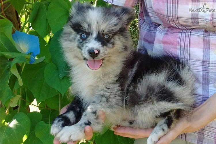 We have beautiful and cute p.o.m.s.k.y Puppie.s[303]330-0842
