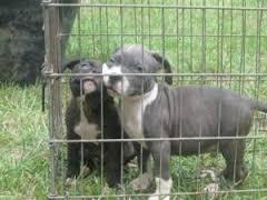 We have beautiful and cute American.pit.bull Puppie.s(915)  257_9137