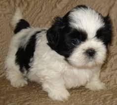 Free Shihtzu Gorgeous Puppies Not For Sell Free) Need Home