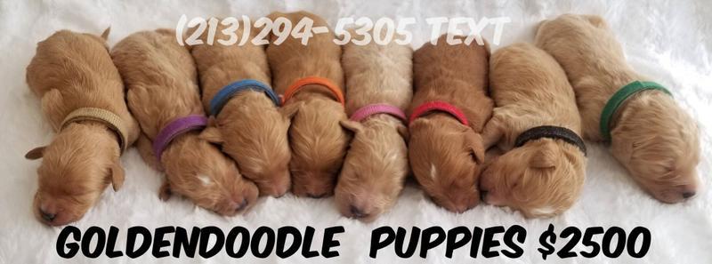 Goldendoodle Puppies - Health Gauranteed!
