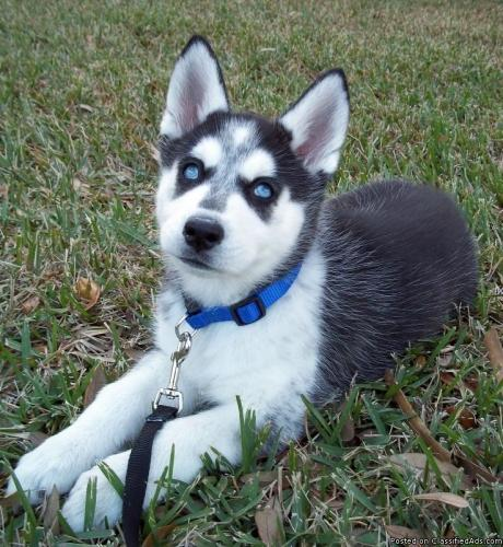adorable husky puppies available