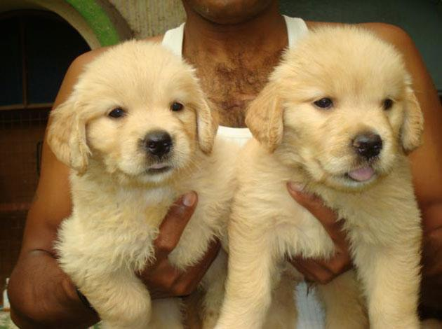 FREE Beautiful Go.l.den Re.triver Pu.pp.ies Available (910) 888-0647