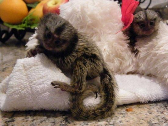 FREE Beautiful Female and Male Marmoset Monkeys $ C.A.PU.-C.HIN M.ON.KEYS Available (408) 676-7528