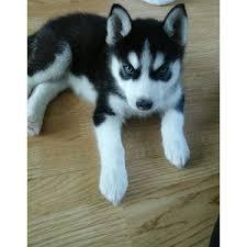 Healthy Siberia.n Husk.y puppies!!!(914) 281-1465