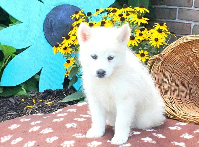 FREE Home Trained and Very Beautiful P.o.m.sky P.up (669) 221-7082