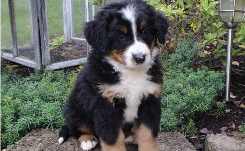 BEAUTIFUL BERNESE MOUNTAIN PUPPIES FOR SALE