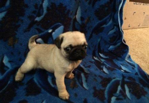 Three Gorgeous P.U.G Puppies Available (804) 724-5435