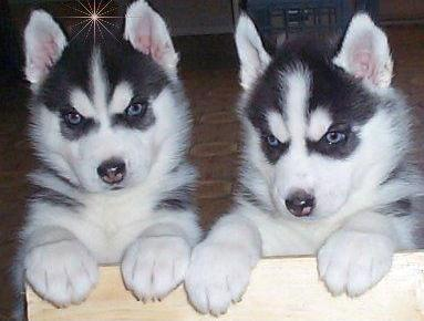 Black and White S.I.B.E.R.I.A.N .H.U.S.K.Y Puppies  (678) 693-3591