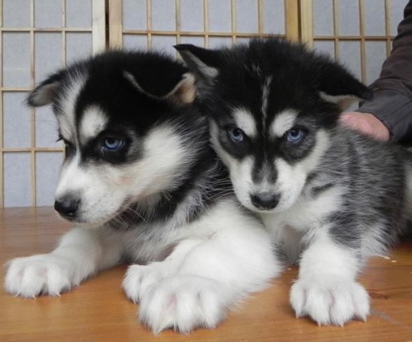 blue eyes S.I.B.E.R.I.A.N. H.U.S.K.Y Puppies