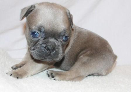 Affectionate M/F French B.u.l.l.d.o.g Puppies!!!410 260-0545