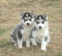 CUTE S.i.b.e.r.i.a.n H.u.s.k.y Puppies<><>