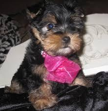 Top** Quality *Yorkies Pu.ppies Need 4ever Home (240) 466-8033