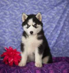 Registered H.U.S.K.Y p.u.p.p.y for Re-Homing interested person should TEX for more .(440) 490-6115)