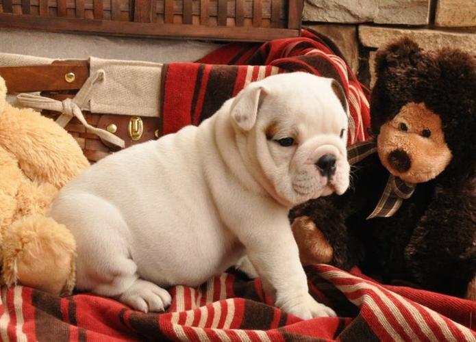 * # #  Quality Englishh Bulldoggss Puppies:....**